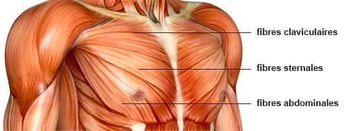 pectoraux anatomie