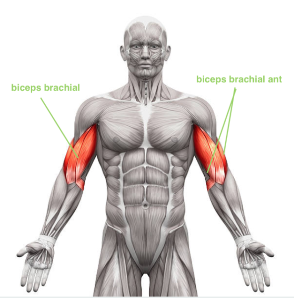 travail du pic du biceps