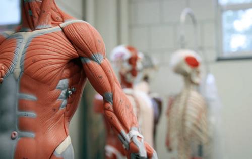 Les muscles du corps et les différents groupes musculaires