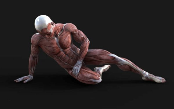 anatomie musculaire