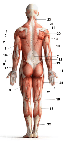 muscles du corps dos