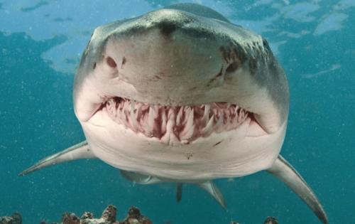 Pourquoi consommer du cartilage de requin en musculation?