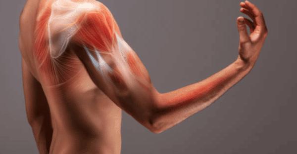 etirement biceps