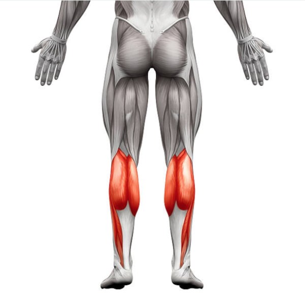 muscle du mollet
