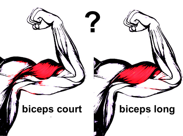Comment savoir si on a un biceps court ou long ?