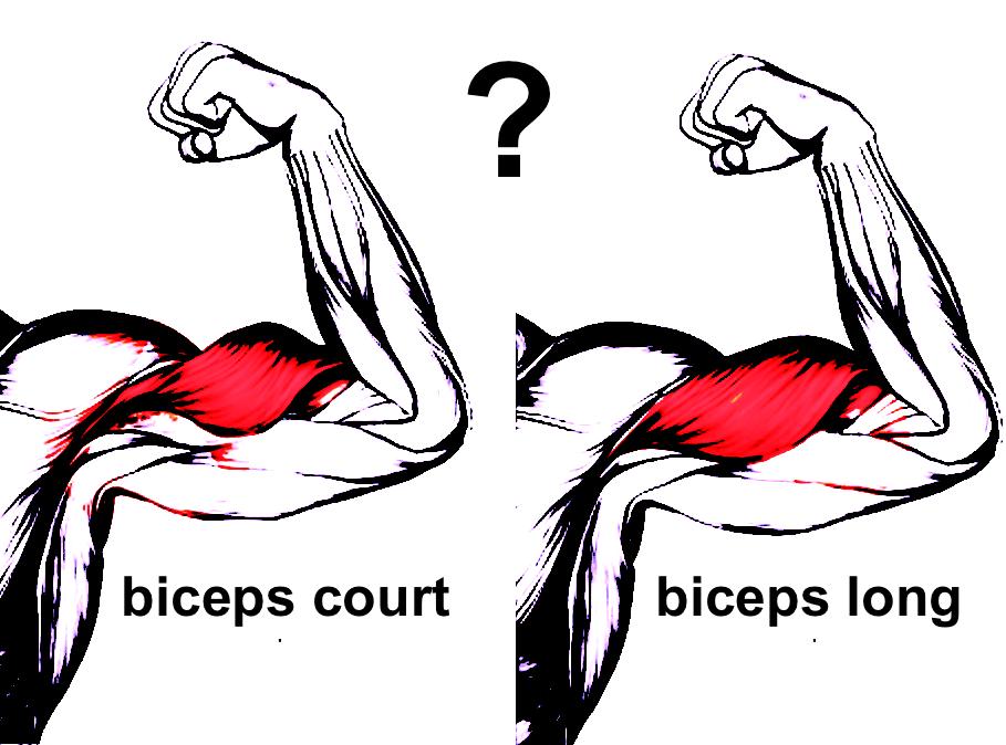 biceps court ou biceps long