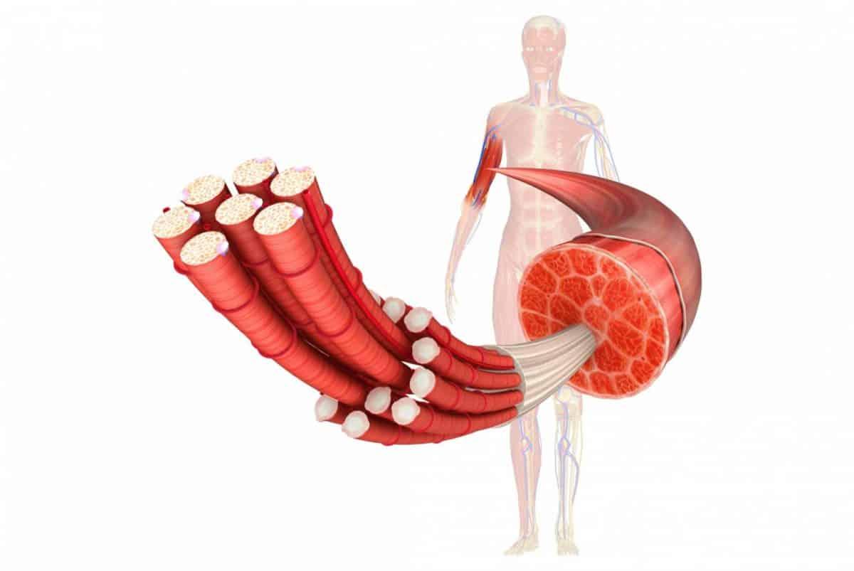 schéma fibre musculaire